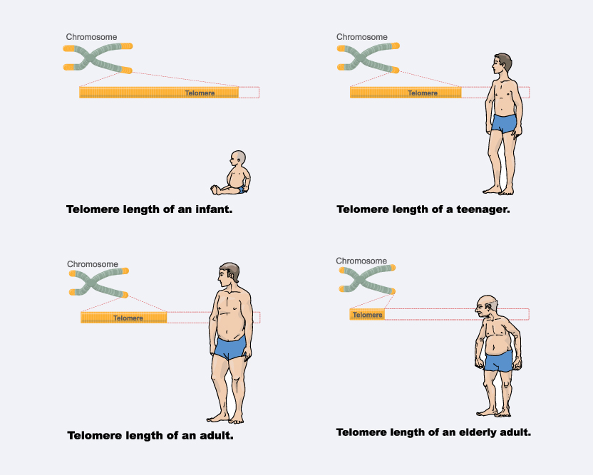 telomeres telomerase supplements bill andrews anti aging supplements Causes of aging and Telomerase Induction